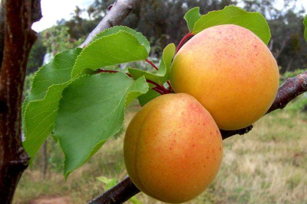 Els cultius agraeixen la incidència de la borrasca 'Filomena'