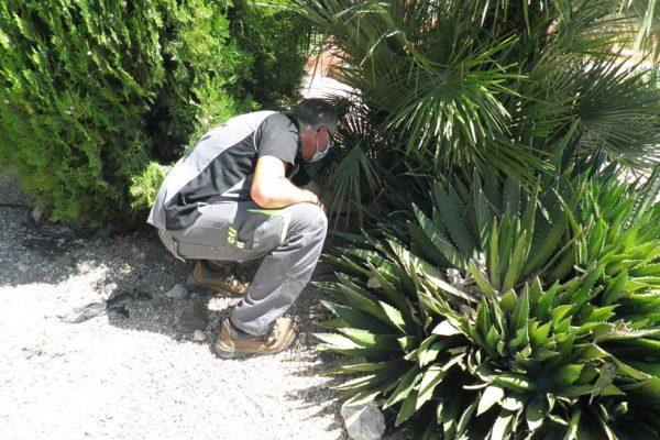Ibi presa mesures per a combatre al mosquit tigre